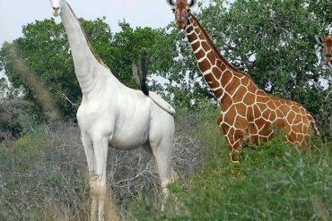 white-giraffe instagram waow africa 2019
