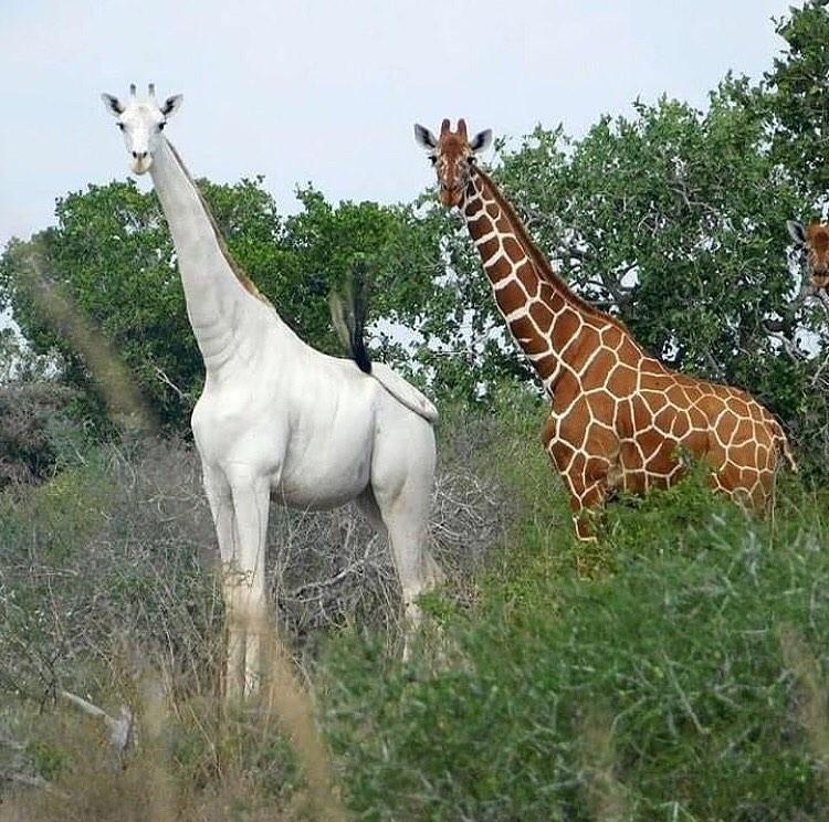 Have You Ever Seen a White Giraffe? - Hype Gram